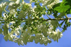 Eichenblättrige Hortensie Blüte
