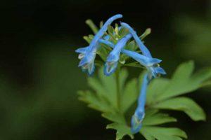 Blauer Lerchensporn