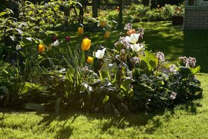 Frühling Bergenien Tulpen