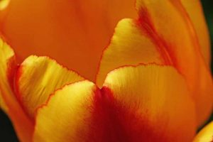 Blick ins Tulpenherz