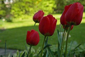 Apeldoorn , standfeste Tulpe