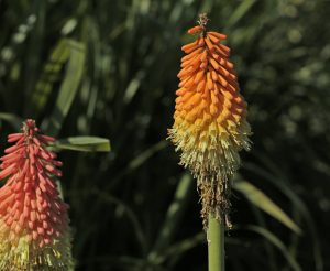 Fackellilie