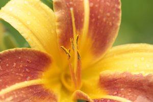 Taglilie Frans Hals, zweifarbig, mittelgroß